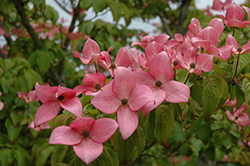 Red Flowering Dogwood (Cornus florida 'var. rubra') at Fernwood Garden Center