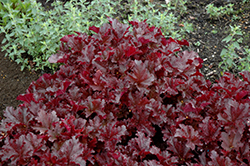Midnight Ruffles Coral Bells (Heuchera 'Midnight Ruffles') at Fernwood Garden Center