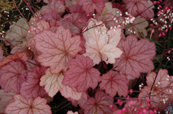 Georgia Peach Coral Bells (Heuchera 'Georgia Peach') at Fernwood Garden Center