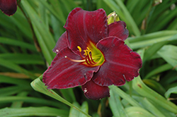 Raspberry Suede Daylily (Hemerocallis 'Raspberry Suede') at Fernwood Garden Center