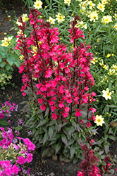 Starship Deep Rose Lobelia (Lobelia 'Starship Deep Rose') at Fernwood Garden Center