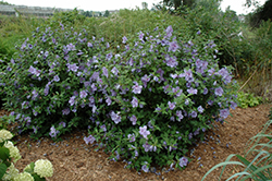 Blue Chiffon® Rose of Sharon (Hibiscus syriacus 'Notwoodthree') at Fernwood Garden Center