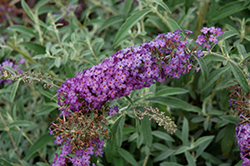 Blue Knight Butterfly Bush (Buddleia 'Blue Knight') at Fernwood Garden Center