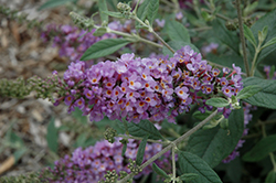 Lavender Cupcake Butterfly Bush (Buddleia 'Lavender Cupcake') at Fernwood Garden Center