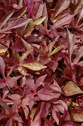 SolarPower Red Sweet Potato Vine (Ipomoea batatas 'SolarPower Red') at Fernwood Garden Center