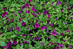 Superbells® Garden Rose Calibrachoa (Calibrachoa 'Superbells Garden Rose') at Fernwood Garden Center