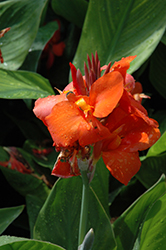 Cannova® Red Canna (Canna 'Cannova Red') at Fernwood Garden Center