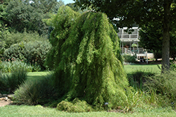 Falling Waters Baldcypress (Taxodium distichum 'Falling Waters') at Fernwood Garden Center
