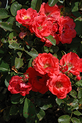 Coral Drift® Rose (Rosa 'Meidrifora') at Fernwood Garden Center