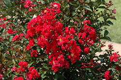 Dynamite Crapemyrtle (Lagerstroemia indica 'Whit II') at Fernwood Garden Center