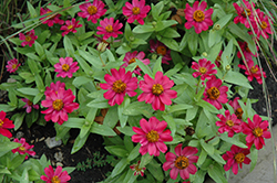 Zahara® Cherry Zinnia (Zinnia 'Zahara Cherry') at Fernwood Garden Center