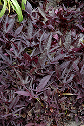 SolarPower Black Sweet Potato Vine (Ipomoea batatas 'SolarPower Black') at Fernwood Garden Center