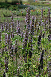 Black Adder Hyssop (Agastache 'Black Adder') at Fernwood Garden Center