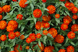 Zahara® Double Fire Zinnia (Zinnia 'Zahara Double Fire') at Fernwood Garden Center