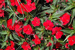 SunPatiens® Compact Red New Guinea Impatiens (Impatiens 'SunPatiens Compact Red') at Fernwood Garden Center