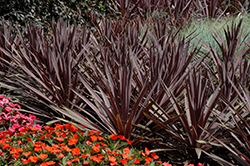 Red Sensation Grass Palm (Cordyline australis 'Red Sensation') at Fernwood Garden Center