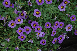 Superbells® Evening Star Calibrachoa (Calibrachoa 'Superbells Evening Star') at Fernwood Garden Center