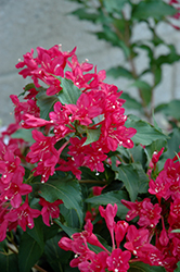 Sonic Bloom Red® Reblooming Weigela (Weigela florida 'Verweig 6') at Fernwood Garden Center