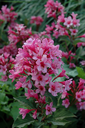 Sonic Bloom® Pink Reblooming Weigela (Weigela florida 'Bokrasopin') at Fernwood Garden Center