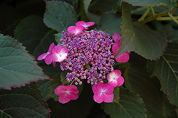 Tuff Stuff™ Hydrangea (Hydrangea serrata 'MAK20') at Fernwood Garden Center