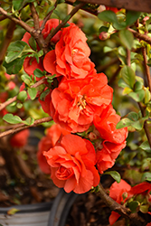 Double Take Orange™ Flowering Quince (Chaenomeles speciosa 'Double Take Orange Storm') at Fernwood Garden Center