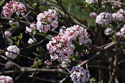 Koreanspice Viburnum (Viburnum carlesii) at Fernwood Garden Center