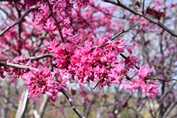 Appalachian Red Redbud (Cercis canadensis 'Appalachian Red') at Fernwood Garden Center