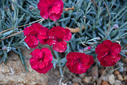Frosty Fire Pinks (Dianthus 'Frosty Fire') at Fernwood Garden Center