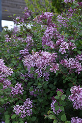 Bloomerang® Lilac (Syringa 'Bloomerang') at Fernwood Garden Center