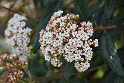 Prague Viburnum (Viburnum x pragense) at Fernwood Garden Center
