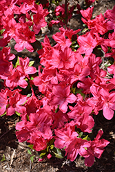 Sunglow Azalea (Rhododendron 'Sunglow') at Fernwood Garden Center