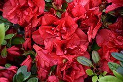 Encore® Autumn Fire™ Azalea (Rhododendron 'Roblez') at Fernwood Garden Center