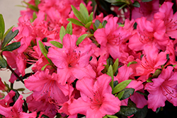 Girard's Rose Azalea (Rhododendron 'Girard's Rose') at Fernwood Garden Center