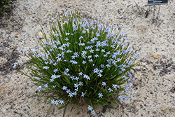 Narrowleaf Blue-Eyed Grass (Sisyrinchium angustifolium) at Fernwood Garden Center