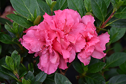 Bloom-A-Thon® Pink Double Azalea (Rhododendron 'RLH1-2P8') at Fernwood Garden Center