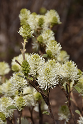 Mt. Airy Fothergilla (Fothergilla major 'Mt. Airy') at Fernwood Garden Center
