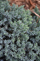 Blue Star Juniper (Juniperus squamata 'Blue Star') at Fernwood Garden Center