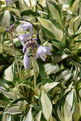 Loyalist Hosta (Hosta 'Loyalist') at Fernwood Garden Center