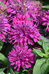 Grape Gumball Beebalm (Monarda 'Grape Gumball') at Fernwood Garden Center