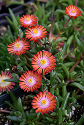 Jewel Of Desert Grenade Ice Plant (Delosperma 'Jewel Of Desert Grenade') at Fernwood Garden Center