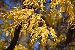 Shademaster Honeylocust (Gleditsia triacanthos 'Shademaster') at Fernwood Garden Center