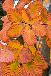 American Smoketree (Cotinus obovatus) at Fernwood Garden Center