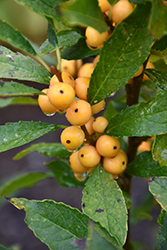 Berry Heavy® Gold Winterberry (Ilex verticillata 'Roberta Case') at Fernwood Garden Center