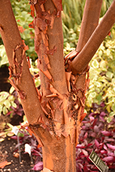 Paperbark Maple (Acer griseum) at Fernwood Garden Center