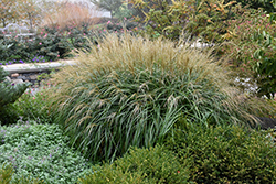 Adagio Maiden Grass (Miscanthus sinensis 'Adagio') at Fernwood Garden Center