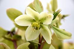 Honeyhill Joy Hellebore (Helleborus 'Honeyhill Joy') at Fernwood Garden Center