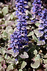 Burgundy Glow Bugleweed (Ajuga reptans 'Burgundy Glow') at Fernwood Garden Center