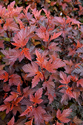 Coppertina® Ninebark (Physocarpus opulifolius 'Mindia') at Fernwood Garden Center