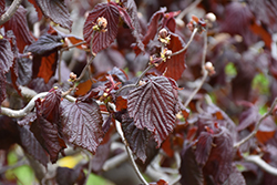 Red Majestic Corkscrew Hazelnut (Corylus avellana 'Red Majestic') at Fernwood Garden Center