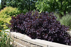 Royal Purple Smokebush (Cotinus coggygria 'Royal Purple') at Fernwood Garden Center